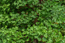Ginkgo Biloba Tree Green Foliage