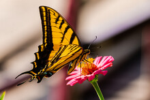 Shallow Focus Shot Of A Yellow Striped Butterfly Standing On The Pink Flower In The Garden