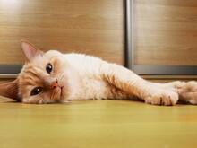 Cat Lying. Closeup Portrait. Adorable Pet. Top Down View.
