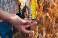 Farmer Examine And Measure With Ruler Wheat Ears At Agricultural Field. Rich Harvest Concept.