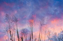 Grass Flower On Pink Sunset Sky And Cloud. Freedom And Nature Concept.