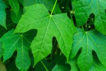 Chaya Or Tree Spinach (Cnidoscolus Chayamansa McVaugh) Is A Large, Growing Leafy Perennial Shrub.