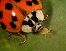 Asian Lady Beetle, Harmonia Axyridis Eating Cannabis Aphid, Phorodon Cannabis On Cannabis Leaf