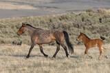 Fototapeta Natura - Wild Horse Mare and Foal in Spring in the Utah Desert