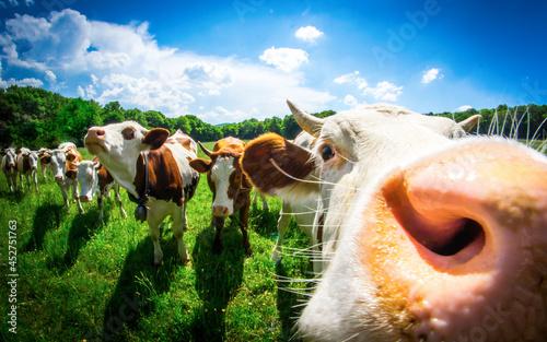 Canvas Print Une vache montbéliarde et ses copines