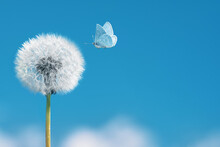 White Dandelion With Flying Butterfly On Blue Sky Background. Copy Space