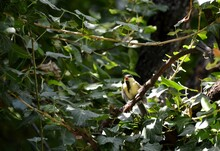 The Cub Of A Small Yellow Bird Seeks Food