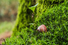 Fallen Brown Acorn Lies On Green Grass