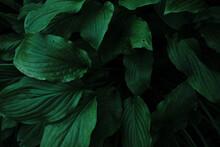 The Hosta Leaves Are A Close-up Of A Bright Green Color. Beautiful Large Decorative Leaves Of An Ever-green Garden Plant. Minimalistic Background With Hosta Leaves Close - Up View From Above.