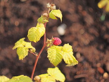 A Red Raspberry Berry Is Ripening On A Bush.