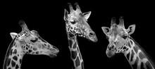 Portrait Of Giraffes On Black Background