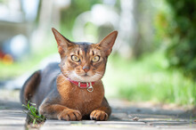 Beautiful Abyssinian Cat In A Collar, Close-up Portrait, Gracefully Lying On A Street Walkway