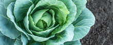 Background Of Cabbage Leaves. Dew Drops On A Leaf Of Cabbage. Green Juicy Color Of The Plant. Big Fresh White Cabbage