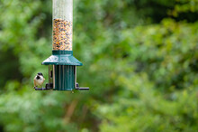 Coal Tit, Periparus Ater, Perched On A Bird Feeder