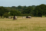 Fototapeta Kosmos - Horses on a grass field
