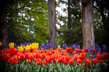 Red Tulips Under Trees Horizontal