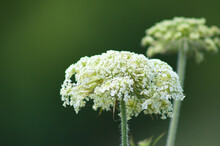 Wild Carrot Inflorescence Closeup View With Green Blurred Background