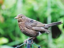 Young Blackbird Perching On Metal Pole