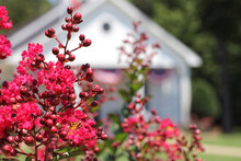 Blooming Crepe Myrtle Trees With Small White Church In Background, Shallow DOF