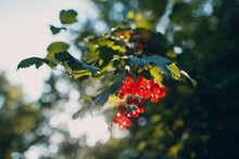Red Viburnum Branch In The Park. Viburnum Opulus Berries And Leaves.