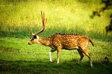 Deer With Antlers Is Grass