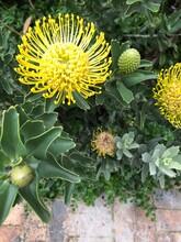 Close-Up Of Yellow Ornamental Pincushion Flower
