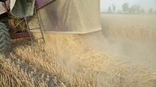 In A Wheat Field, A Combine Harvester Collects Mature Wheat And Pours Hay On The Field. Rear View.