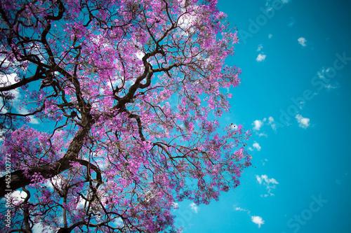 Fototapeta cherry blossom in spring