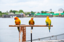 Group Of Sun Conure Parrot Perched On Branch Stick.