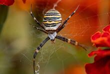 """Spider Called """"Argiope Bruennichi"""" On A Web."""