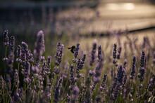 Bumblebee Posing On Lavender Flowers