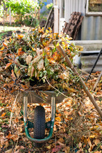Garden Wheelbarrow Full Of Dry Branches, Leaves And Plants In Autumn Garden.
