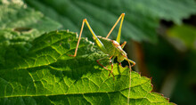 A Long-horned Grasshopper On A Leaf. Also Known By The Names Katydid And Bush Cricket