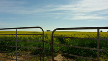 A Double Farm Gate Framing A Solitary Eucalyptus Tree In A Vast Field Of Yellow Canola With Cloudscape And Blue Skies