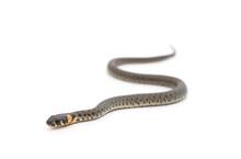 One Gray Snake.