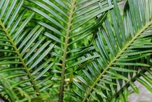 Cycas Revoluta Or Sago Palm Leaves. Houseplant
