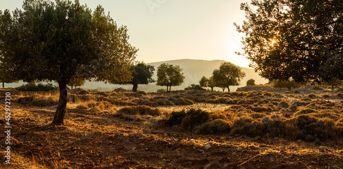 Olive Grove on the island of Greece. plantation of olive trees.