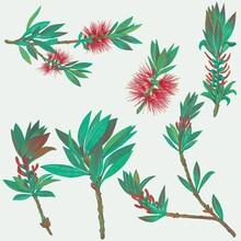 Callistemon,  Arbusto Comúnmente Llamado Limpiatubos O Limpia Botellas De La Familia De Las Myrtaceae, Sobre Fondo Blanco