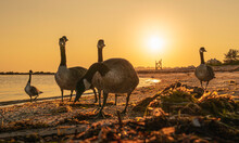 Five Geese On The Beach At Sunrise, Grazing For Breakfast Over The Seaweeds. Busy Morning Sea Bird Sanctuary Landscape On Cape Cod.