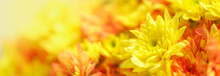Closeup Of Orange And Yellow Mums Flower With Copy Space Using As Background Natural Flora, Ecology Cover Page Concept.