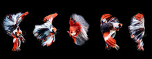 Red Betta Fish, A Collection Of Fish Swimming In Various Poses. Ornamental Fish Betta In The Water