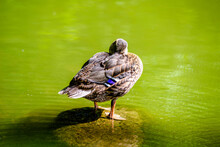 A Wild Duck Stands On A Rock In The Middle Of The Water