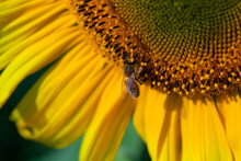 Honey Bee Covered With Yellow Pollen Collecting Sunflower Nectar Sitting At Sunflower