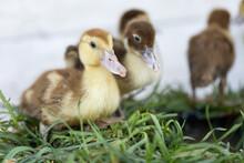 Little Ducklings On Grass