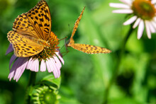 Two Silver-washed Fritillary (Argynnis Paphia) Butterflies Sitting On Purple Flower Blossom With Copy Space. Eyes Of Butterfly Is In Camera Focus. Selective Focus And Image With Shallow Depth Of Field