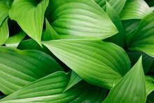 Green Hosta Plant Leaves Background
