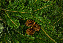 Close Up Fresh Green Spruce Branches With Cones
