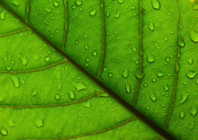 Extreme Close Up Background Texture Of Backlit Green Leaf Veins With Water Drops After The Rain