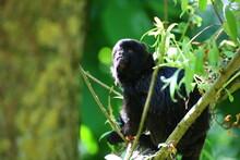The Cute Monkey Goeldis Marmoset (Callimico Goeldii)