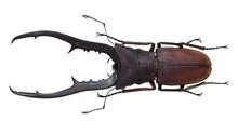 Lucanidae, Stag Beetle, Cyclommatus Metallifer (Boisduval, 1835)